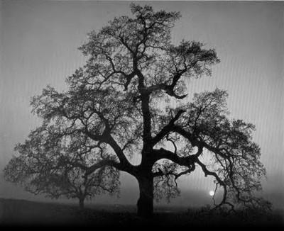 Oak Tree, Sunset City, California