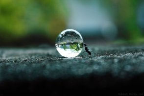 Ant Pushing A Water Droplet