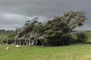 Antarctic Wind-Swept Trees, New Zealand