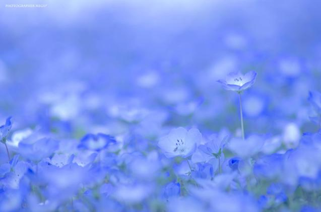 Baby Blue Eyes (Nemophila)