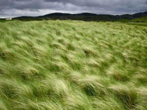 Beach Grass, Scotland