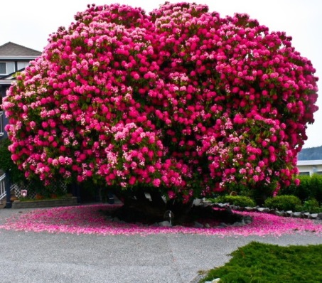 Canadian Rhododendron, 125+ Years Old
