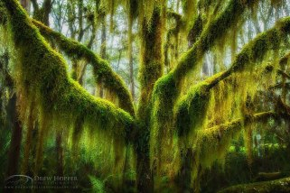 Hanging Moss Draped Antarctic Beech, Oregon
