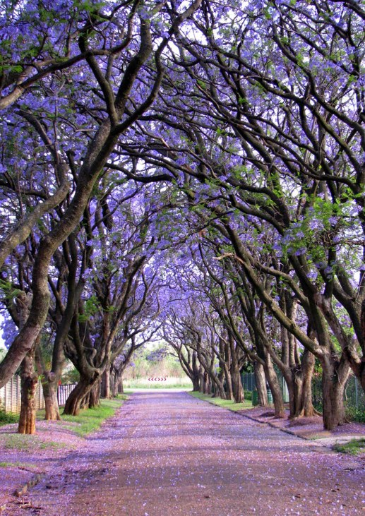 Jacarandas, South Africa