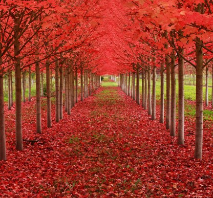 Maple Tree Tunnel, Oregon