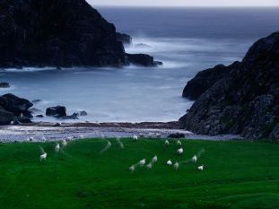 Sheep, Scotland
