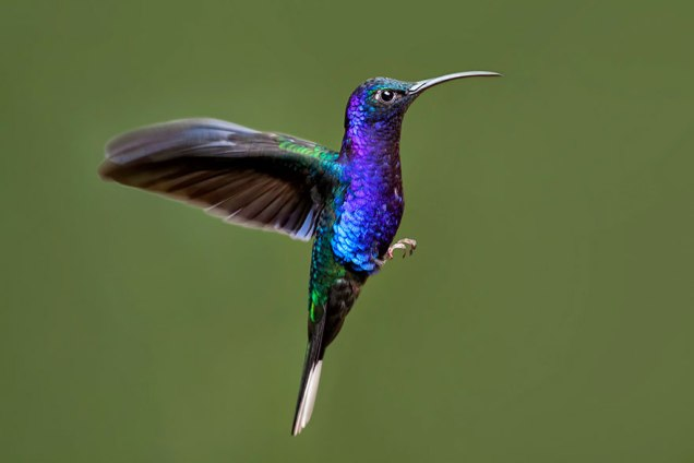 Violet Sabrewing Hummingbird